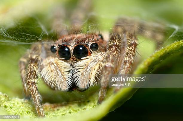 jumping spider close up - pedipalp stock photos and pictures