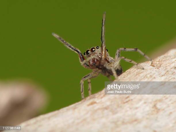 jumping spider macro with legs up - arthropod stock pictures, royalty-free photos & images