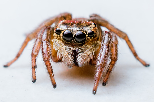 Jumping Spider 696897726