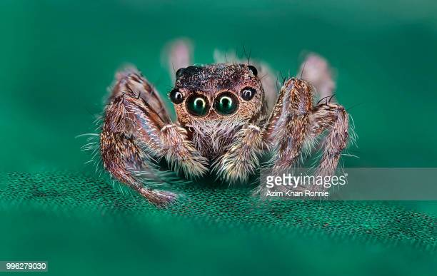 jumping spider - spider fotografías e imágenes de stock