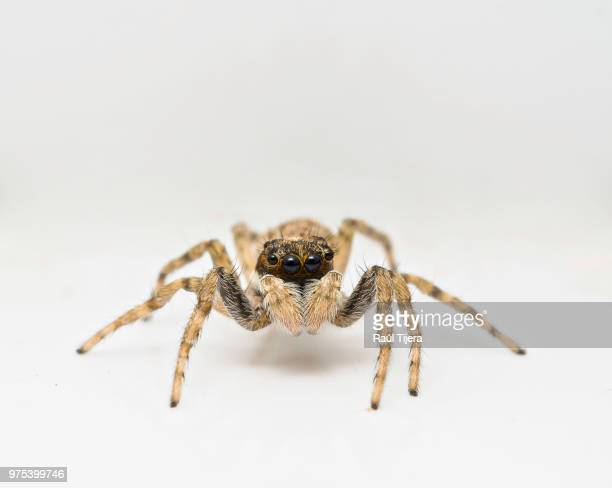 jumping spider (menemerus semilimbatus), seville, andalusia, spain - spider stock pictures, royalty-free photos & images