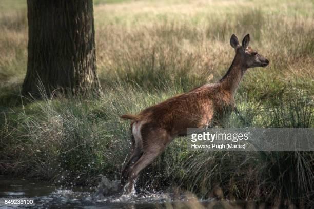 jumping, splashing red deer - femmina di daino foto e immagini stock
