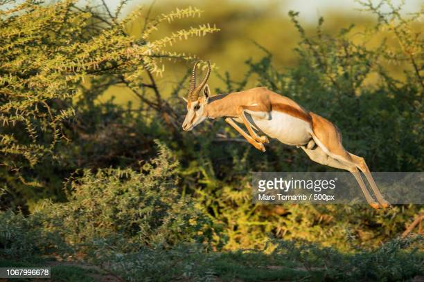 jumping springbok in wild - springbok stock photos and pictures