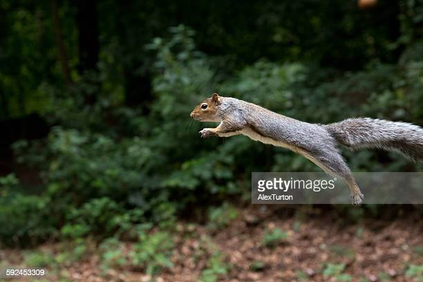 Jumping squirrel mid air