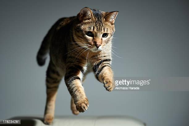 Jumping Tabby Cat