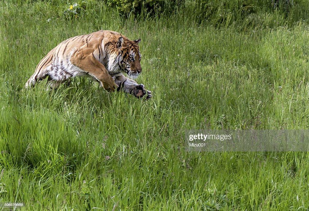 Jumping Tiger : Stockfoto