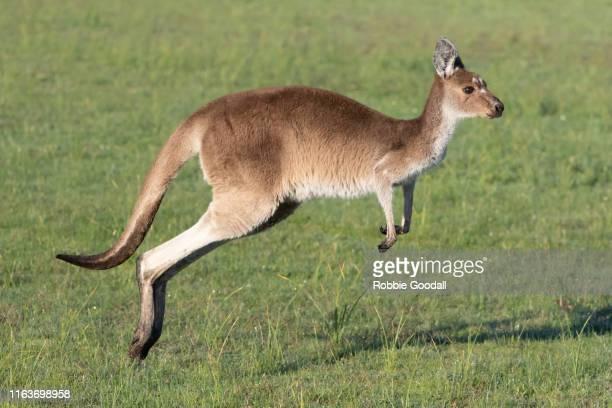 jumping western grey kangaroo (macropus fuliginosus) - kangaroo stock pictures, royalty-free photos & images