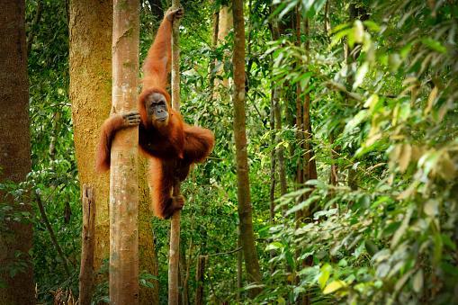 Jumping wild orangutan 1081914352