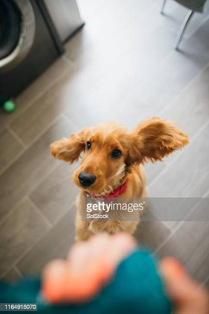 jumping with joy - cocker spaniel stock pictures, royalty-free photos & images