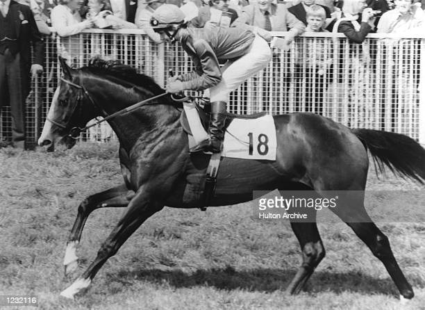 Shergar ridden by Walter Swinburn trots to the starting post prior to the Epsom Derby in England Shergar won the race by ten lengths Mandatory Credit...