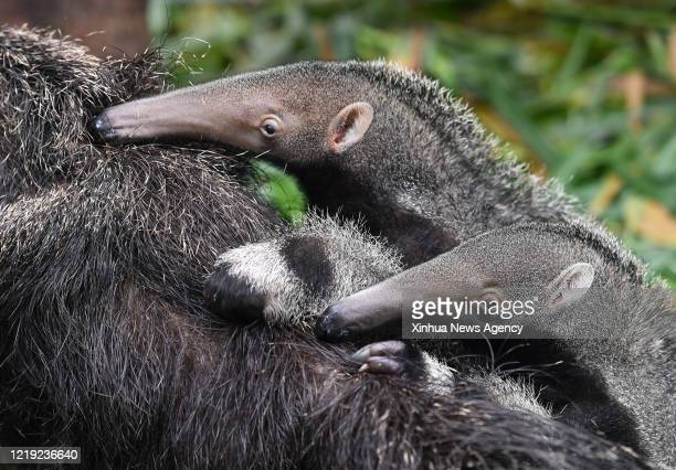 June 10, 2020 -- A pigeon pair of anteater cubs cling to the back of their mother at the Chimelong Safari Park in Guangzhou, south China's Guangdong...