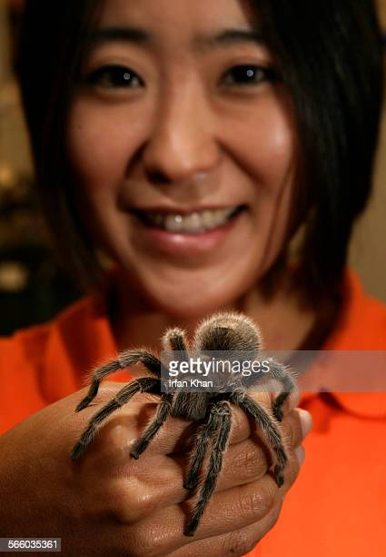 RIVERSIDE CA – June 19 2008 ––––– Cheryl Hayashi associate professor of biology at UC Riverside holds a rose–haired tarantula Hayashi's lab stidies...