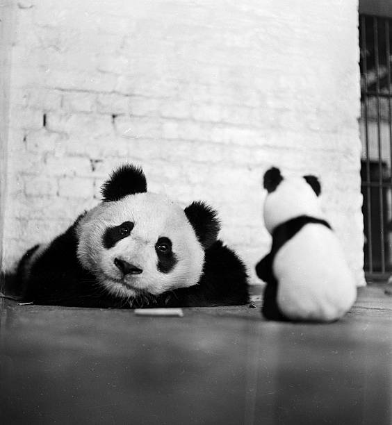 Unity the Chinese giant panda, formerly Lien Ho meets...