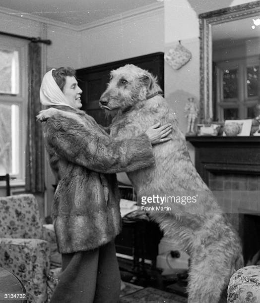 An Irish Wolfhound the tallest dog known dwarfs its owner when standing on its hind legs