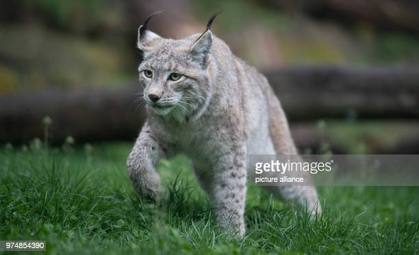 A Eurasian lynx tiptoeing through its enclosure in Wildparadies Tripsdrill Photo Sebastian Gollnow/dpa