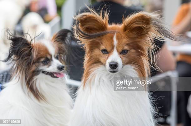 Two Papillon dogs at the International and National Pedrigee Dogs Show as well as the International Pedigree Cats Show at the Erfurt fair About 4000...