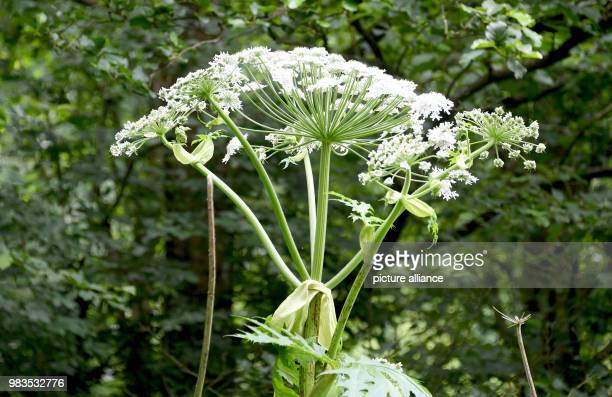 Picture of a giant hogweed The plant which was first brought to Germany as an ornamental plant in the mid19th century has since grown wild fast If...