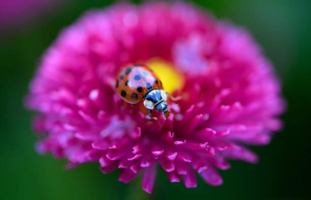 DEU: Ladybug