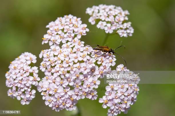 A longhorn beetle sits on a yarrow at the edge of the Reichswald Photo Daniel Karmann/dpa