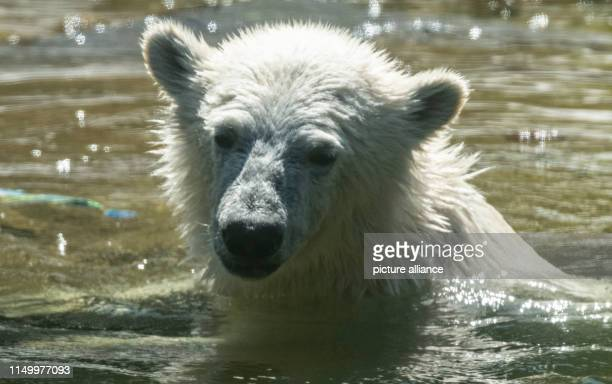 The little polar bear Hertha refreshes herself in her enclosure in the zoo Berlin's polar bear Hertha not only cools down when bathing In its first...