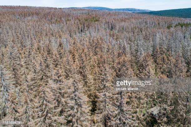 June 2019, Lower Saxony, Braunlage: Spruce bark beetles infest spruce near the Königskrug ranger station on Berg Achtermann in the Harz mountains....