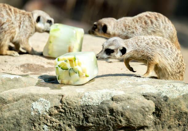 DEU: Meerkats With Ice Cream Cake