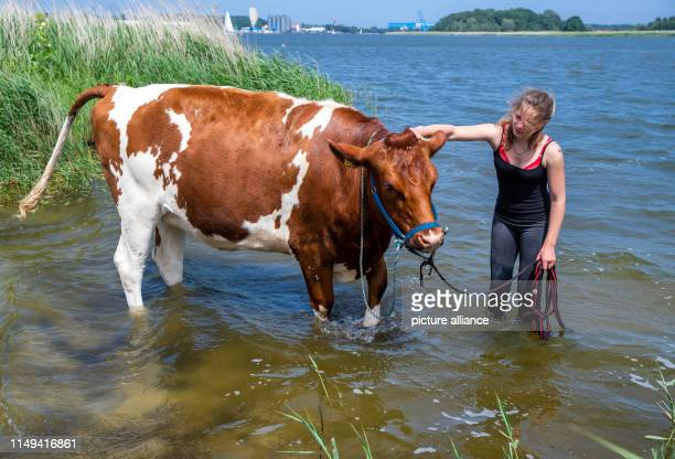 11 June 2019 MecklenburgWestern Pomerania Wolgast 18yearold Paulina Zargus a trainee at Peeneland Agrar GmbH is standing with her cow Hilde in the...