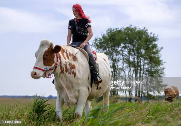 11 June 2019 MecklenburgWestern Pomerania Wolgast Annika Binz trainee at Peeneland Agrar GmbH rides on the cow Mambo No5 for a refreshing swim to the...