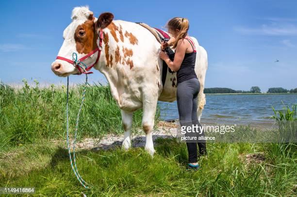 11 June 2019 MecklenburgWestern Pomerania Wolgast The 18yearold Paulina Zargus a trainee at Peeneland Agrar GmbH pulls the saddle girth by the cow...