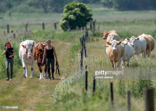 11 June 2019 MecklenburgWestern Pomerania Wolgast The 18yearold Paulina Zargus and Annika Binz trainees at Peeneland Agrar GmbH walk past a herd of...