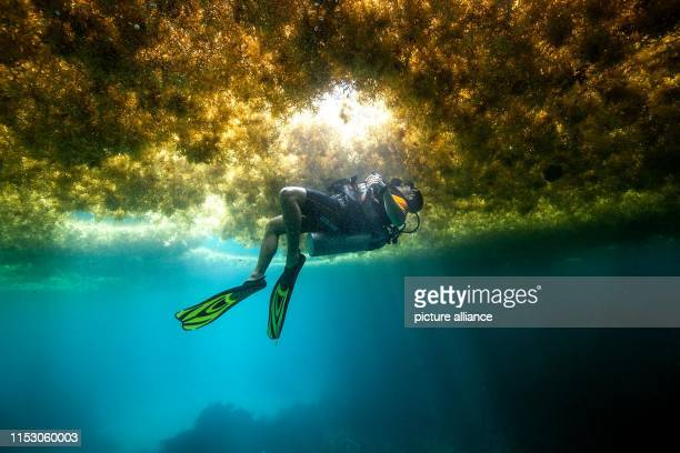 A diver swims in a layer of algae At the moment many Caribbean tourists miss out on the perfect beach holiday with lots of brown algae No matter if...