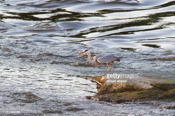 A grey heron stands on a part of the cathedral rock that is already dry Currently the level of the Elbe is falling again Photo KlausDietmar...