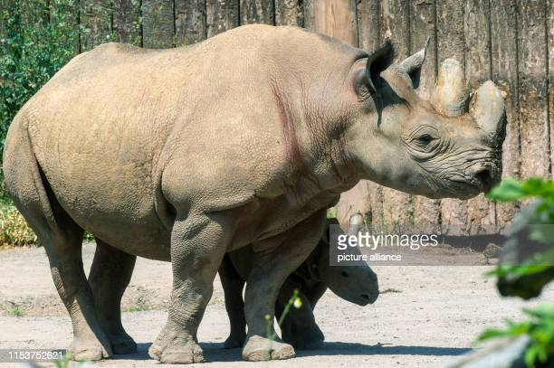 A small black rhino bull stands in the shadow of his mother in the zoo's outdoor enclosure The young animal had already been born on 28 April 2019...