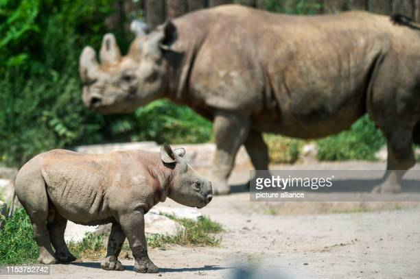A small black rhino bull stands with its mother in the free enclosure of the zoo The young animal had already been born on 28 April 2019 Since the...