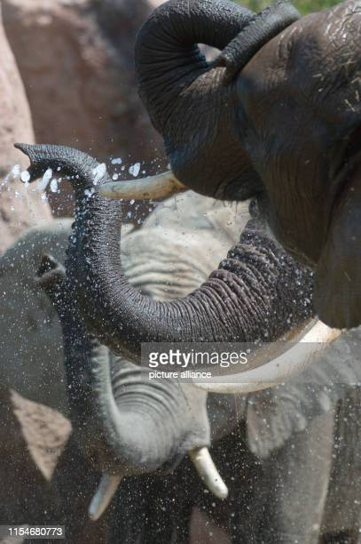 Three African elephants drink from the water that a keeper splashes through a hose into the enclosure Photo KlausDietmar Gabbert/dpaZentralbild/ZB