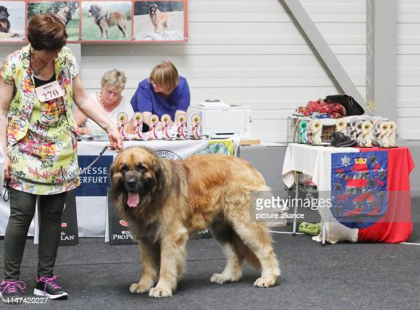 A Leonberger male dog is presented to the expert jury by its owner at the pedigree dog exhibition at the fair More than 3600 pedigree dogs faced the...