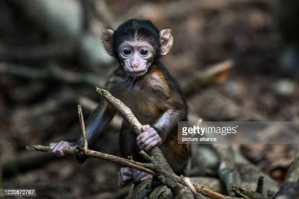 June 2020, Baden-Wuerttemberg, Salem: A Berber monkey baby, only a few weeks old, holds on to a dry branch. The baby monkey is the first to be born...