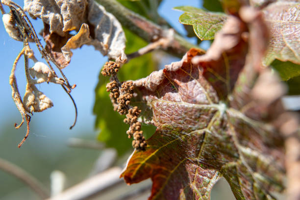DEU: Concepts Against Frost Damage In Vineyards
