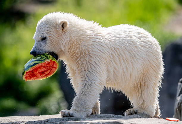 DEU: Polar Bear Offspring Baptized At Hannover Zoo