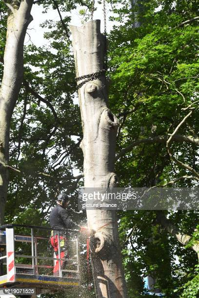 June 2020, Mecklenburg-Western Pomerania, Zinnowitz: On the Vineta Festival site, a beech tree is felled at the Vineta stage by an employee of the...