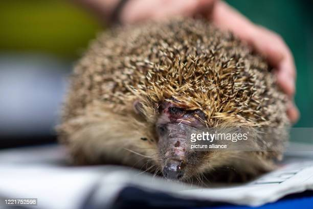 June 2020, North Rhine-Westphalia, Pulheim: A hedgehog with a head injury sits on a newspaper in Karin Oehl's basement. With beady eyes and spines,...