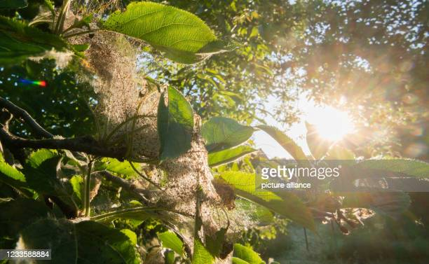 June 2021, Lower Saxony, Hanover: Nets of the apple ermine moth cover an apple tree in an orchard in the Hannover region. The apple webbing moth is a...