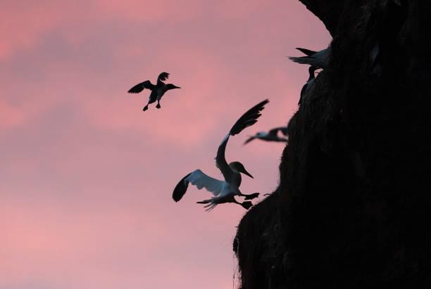 DEU: Guillemot Jump On Helgoland Has Begun