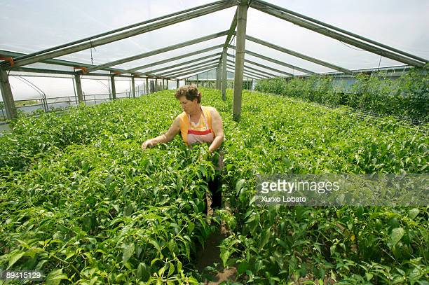 June 29 2007 Padron Coruna Galicia Spain Padron peppers plantation in a greenhouse