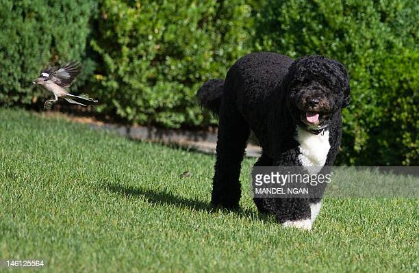A June 6 2012 photo shows Bo the Obama family dog in the Rose Garden of the White House AFP PHOTO/Mandel NGAN