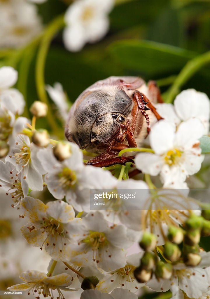 June Bug in hawthorn inflorescence : Stock Photo