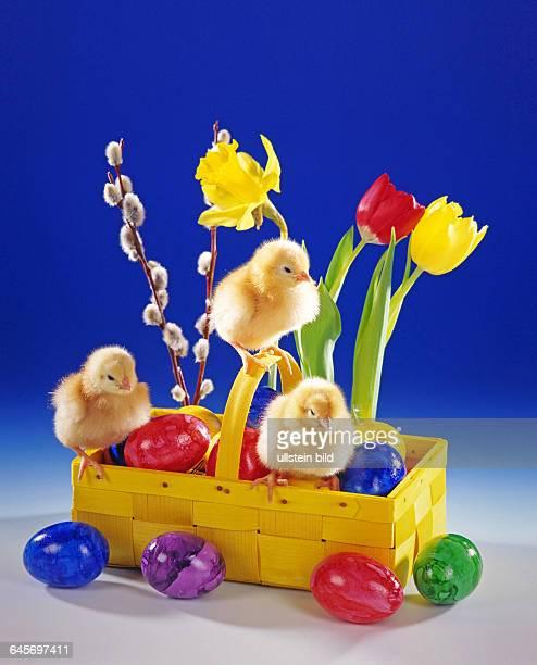 Junge Huehner Kueken Studioaufnahme Symbolfoto Ostern
