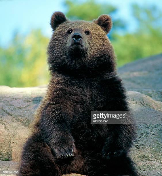 Junger Braunbär steht auf den Hinterbeinen auf einem Waldfelsen um Übersicht zu gewinnen