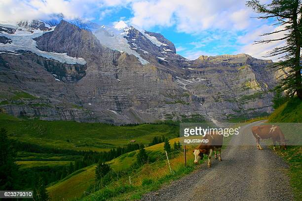 Jungfrau and cows above Lauterbrunnen valley, Bernese Oberland, Swiss Alps