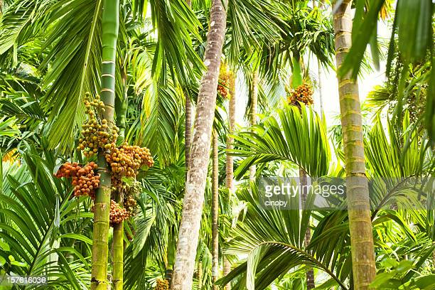Jungle - Betel Palm ( Areca )